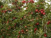 Обрезка плодовых деревьев. Алматы