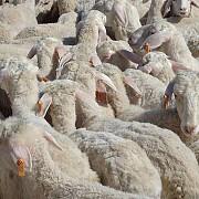Ушные бирки теги метки коров овец свиней верблюдов коз оленей и т.д. За границей
