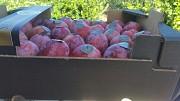 Продаем сливу из Испании Алматы