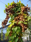 Диоскорея азимина витекс семена и саженцы для посадки За границей