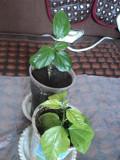 Китайская роза (гибискус) Костанай