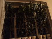 Цветы лечебные- алоэ трёхлетний, каланхоэ лекарственный, индийски Костанай