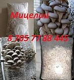 Мицелии вешанки (семена грибов) в Алматы Алматы