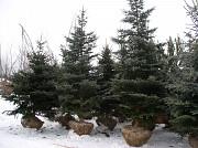 Озеленение двора доставка из г.Нур-Султан (Астана)