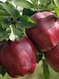 Саженцы яблони старкримсон доставка из г.Алматы