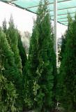 Туя Смарагд 1, 4 - 1, 6 м - для озеленения Алматы