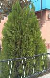Туи для озеленения территории Алматы