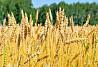 Продаем большим оптом 5000 тысяч тонн пшеницу 2019 года Алматы