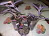 Сеткреазия - комнатный цветок Костанай