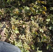 Винограларское хозяйство За границей