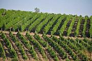 Виноградная плантация За границей