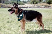 Дрессировка собак стаж 49 Окд и Зкс Шымкент
