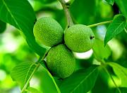 Зелёный грецкий орех Алматы