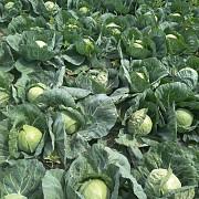 Овощи от производителя с полей от 100000 тысяч тонн Урожай 2020-2028года Алматы