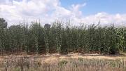 Саженцы плодовых деревьев Сербия Тараз