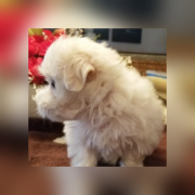 Maltese puppy for rehoming Тараз
