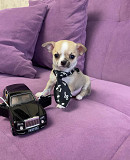 Chihuahua puppies ready to go both male and female Актобе