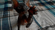 Жулиан - котенок Донского Сфинкса выставочного класса Алматы