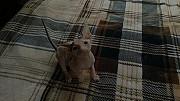Жужа - Донской Сфинкс (резинка, класс Show) племенная кошечка Алматы
