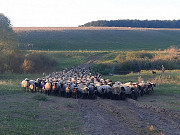 Романовские овцы Нур-Султан (Астана)
