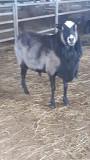 Романовские овцы Алматы