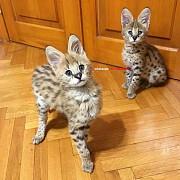 Доступны красивые котята сервала и саванна F1 Жезказган