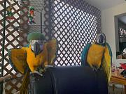 Доступны попугаи синего и золотого ара Москва