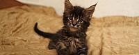 Чудесные котята мейн-кун из питомника